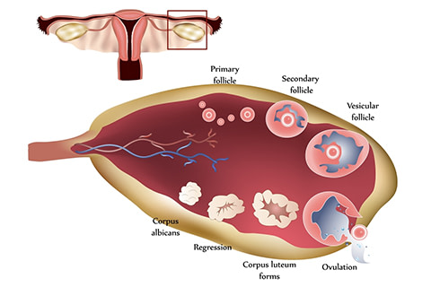 Ovulation Induction/ Augmentation